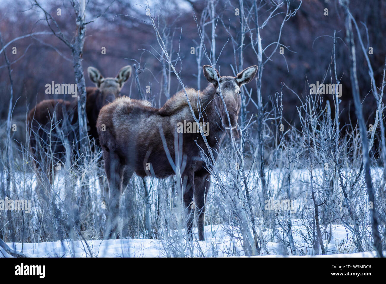 Moose in Picabo, Idaho - Stock Image
