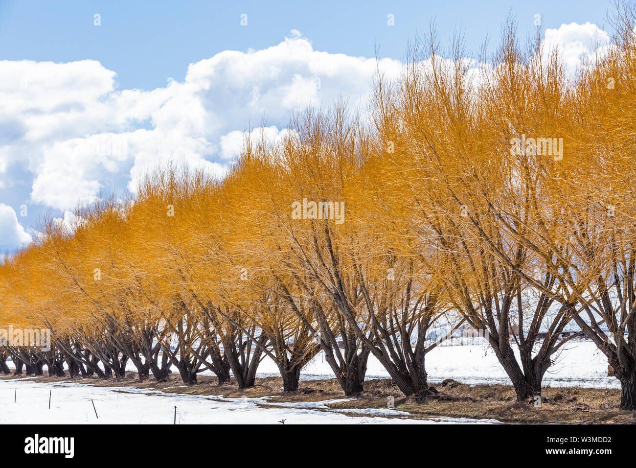 Autumn trees in snow in Bellevue, Idaho, USA - Stock Image