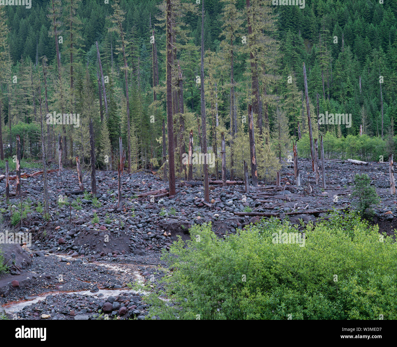 USA, Washington, Mt. Rainier National Park, Outwash from the Tahoma Glacier created a flood and debri flow along Tahoma Creek and adjacent forest. Stock Photo