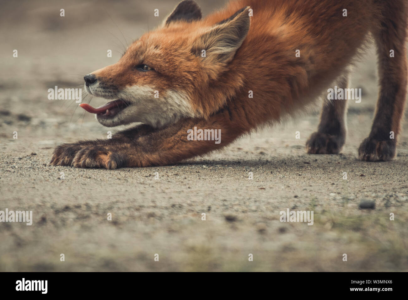 A young red fox (Vulpus vulpus) stretches and yawns while he is exploring the world. Yukon Territory, Canada - Stock Image