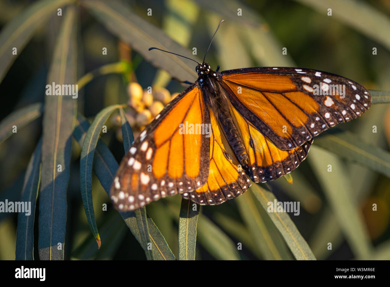 Beautiful Monarch Butterfly Resting On Plant. - Stock Image