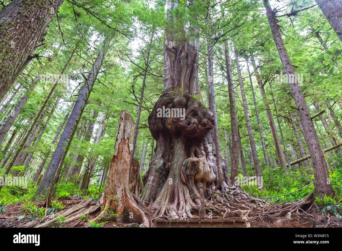 Skyward Perspective of Canada Gnarliest Tree in Giant Western Red Cedar Forest near Port Renfrew, Pacific Northwest Vancouver Island BC Canadai Stock Photo