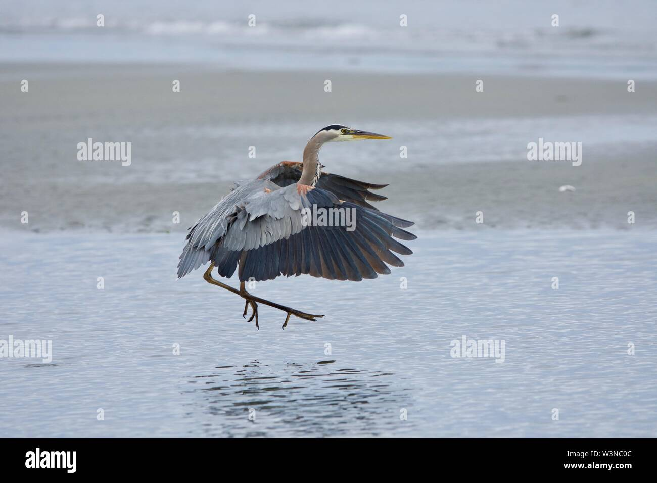 Great blue heron sweeps its wings forward as it touches down in a tide pool, Witty's Lagoon, Vancouver Island, British Columbia. - Stock Image