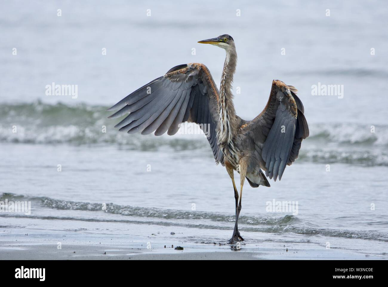 Juvenile great blue heron looks like a dancer as it stands with wings spread, Witty's Lagoon, Vancouver Island, British Columbia. - Stock Image