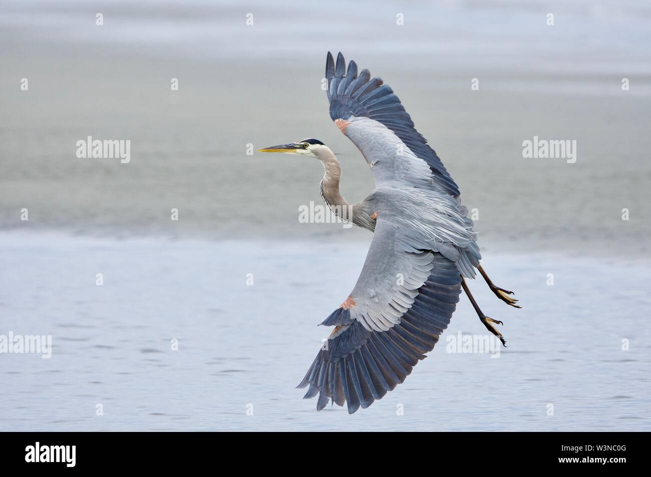 Great blue heron prepares to land on the beach, wings spread wide, Witty's Lagoon, Vancouver Island, British Columbia. - Stock Image
