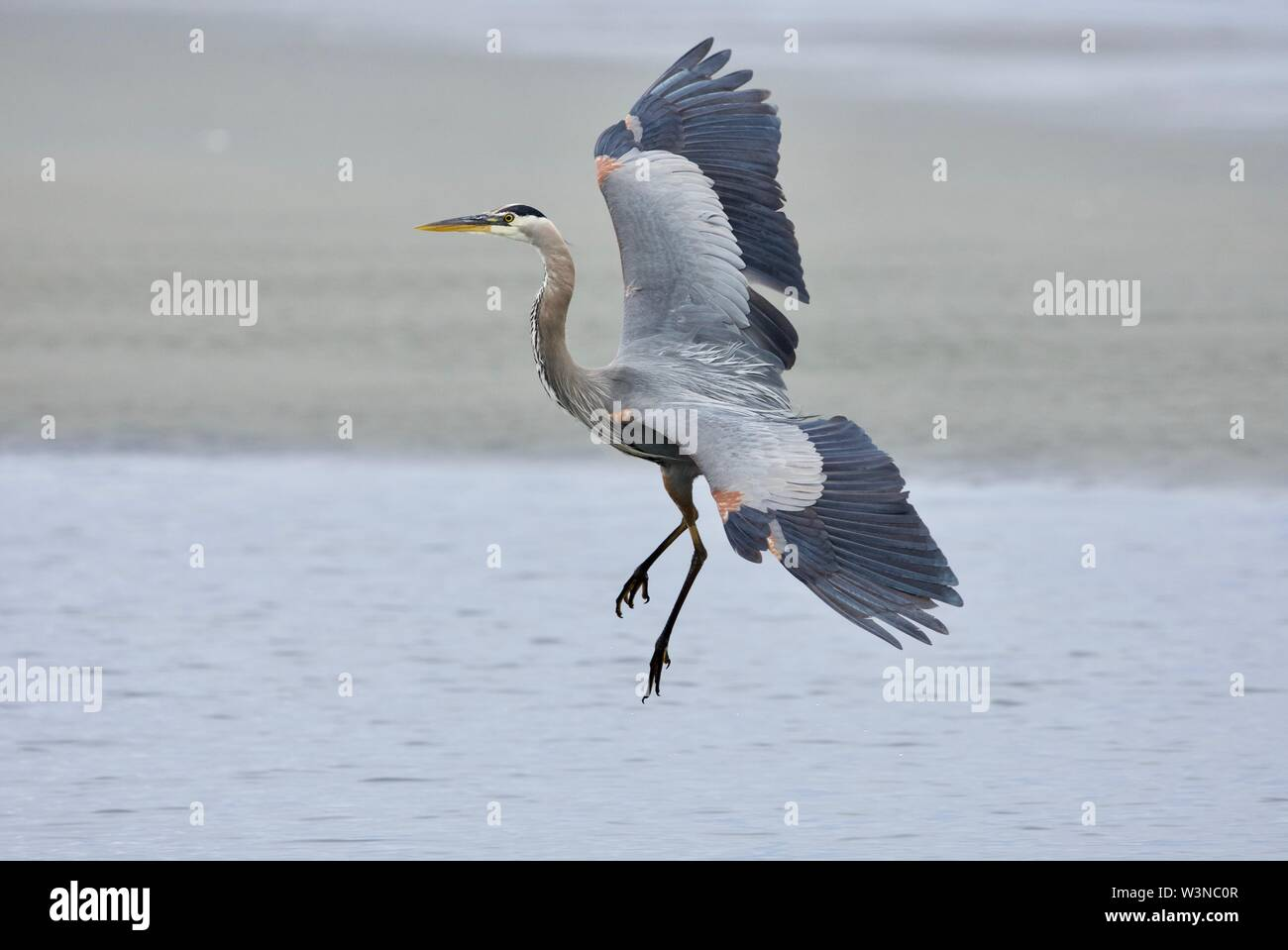 Great blue heron shows its lovely plumage as it lands in a tide pool, Witty's Lagoon, Vancouver Island, British Columbia. - Stock Image