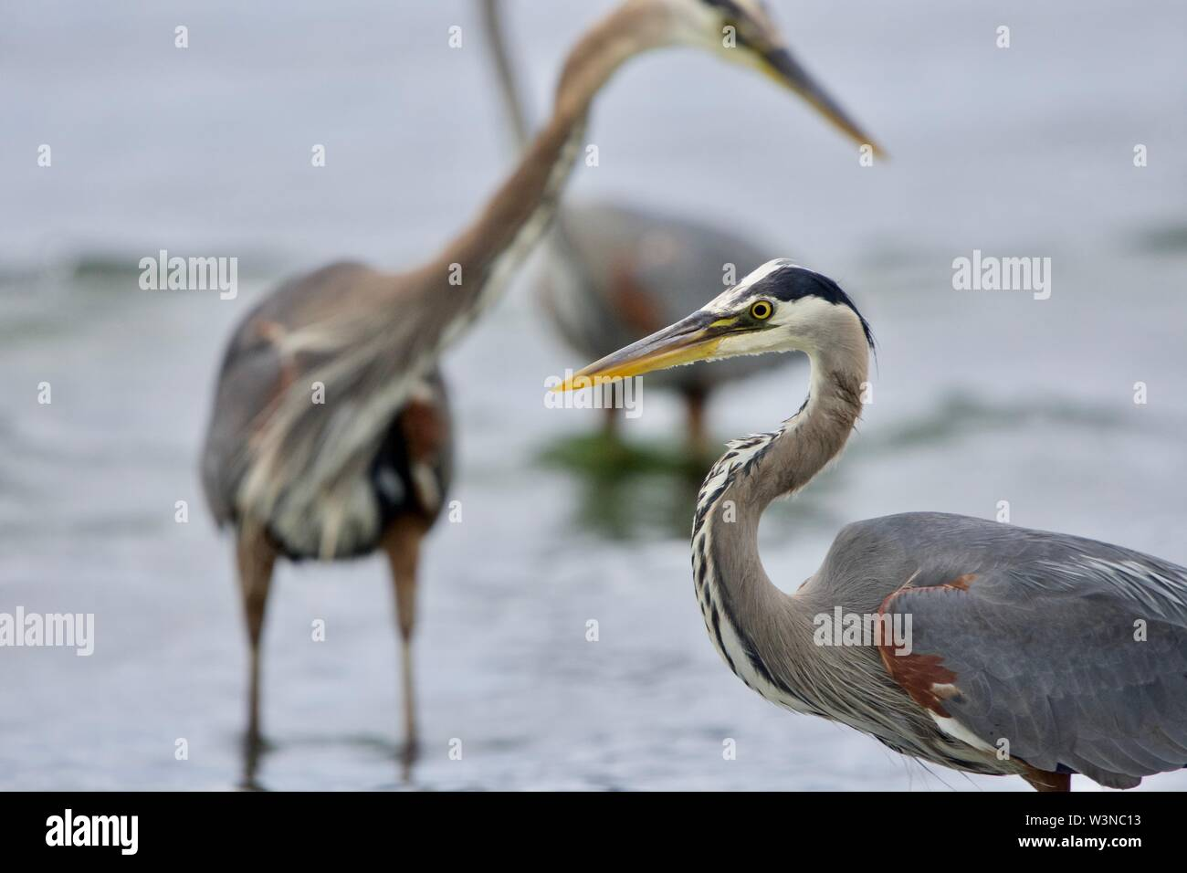 Close up of heron with two other great blue herons fish behind it, Witty's Lagoon, Vancouver Island, British Columbia. - Stock Image