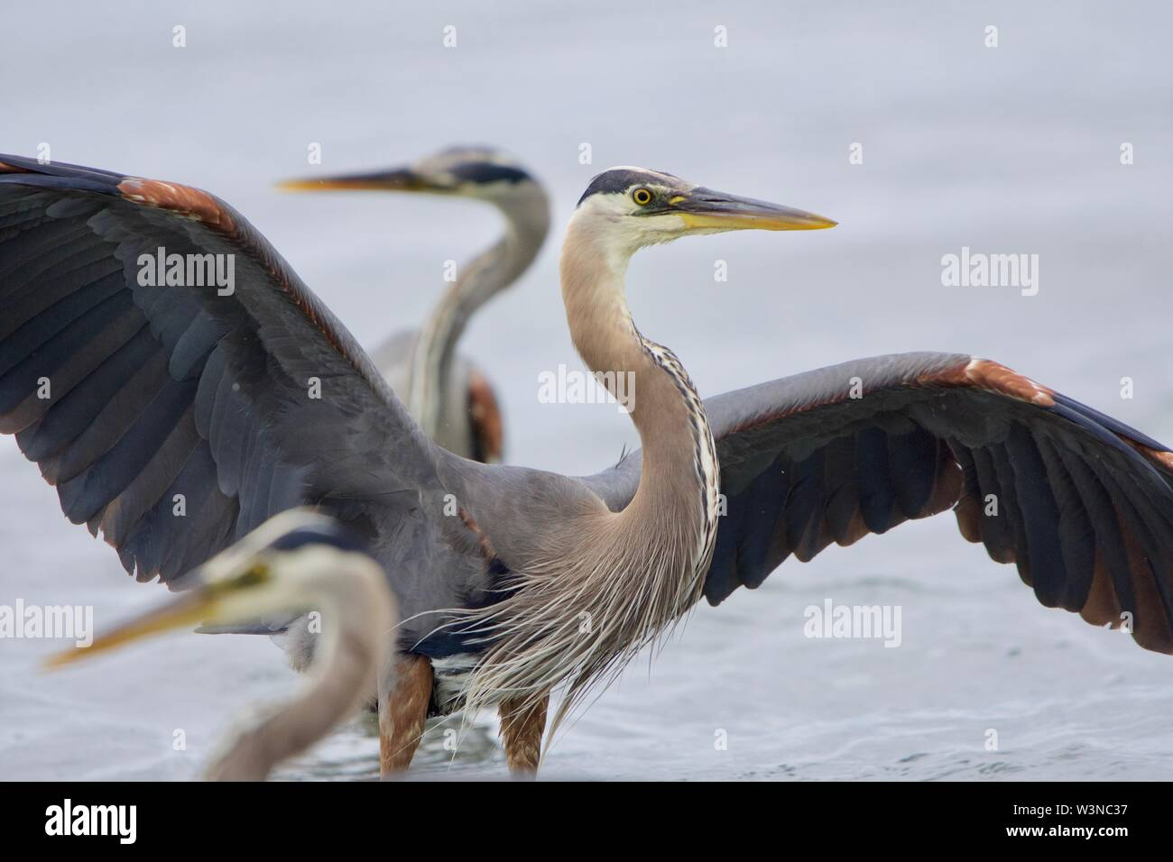 Great blue herons look in opposite directions while one spreads its wings,  Witty's Lagoon, Vancouver Island, British Columbia. - Stock Image