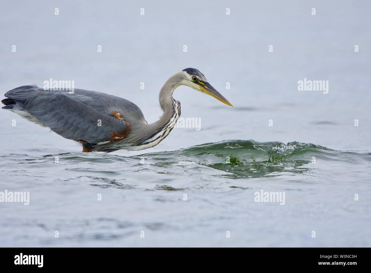 Small wave breaks as it passes a great blue heron fishing near shore, Witty's Lagoon, Vancouver Island, British Columbia. - Stock Image