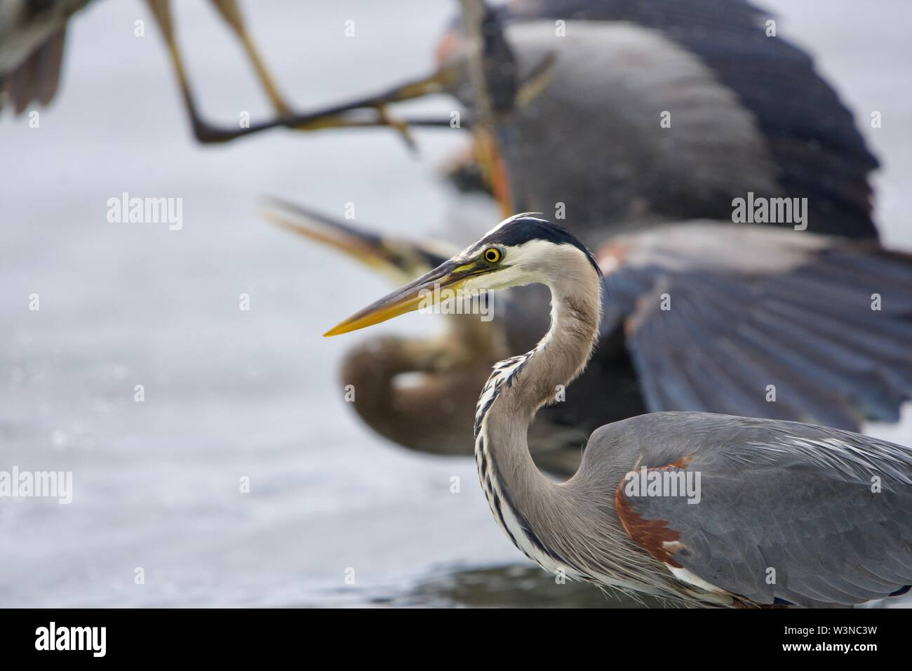 Two great blue herons quarrel while another focuses on catching a fish, Witty's Lagoon, Vancouver Island, British Columbia. - Stock Image