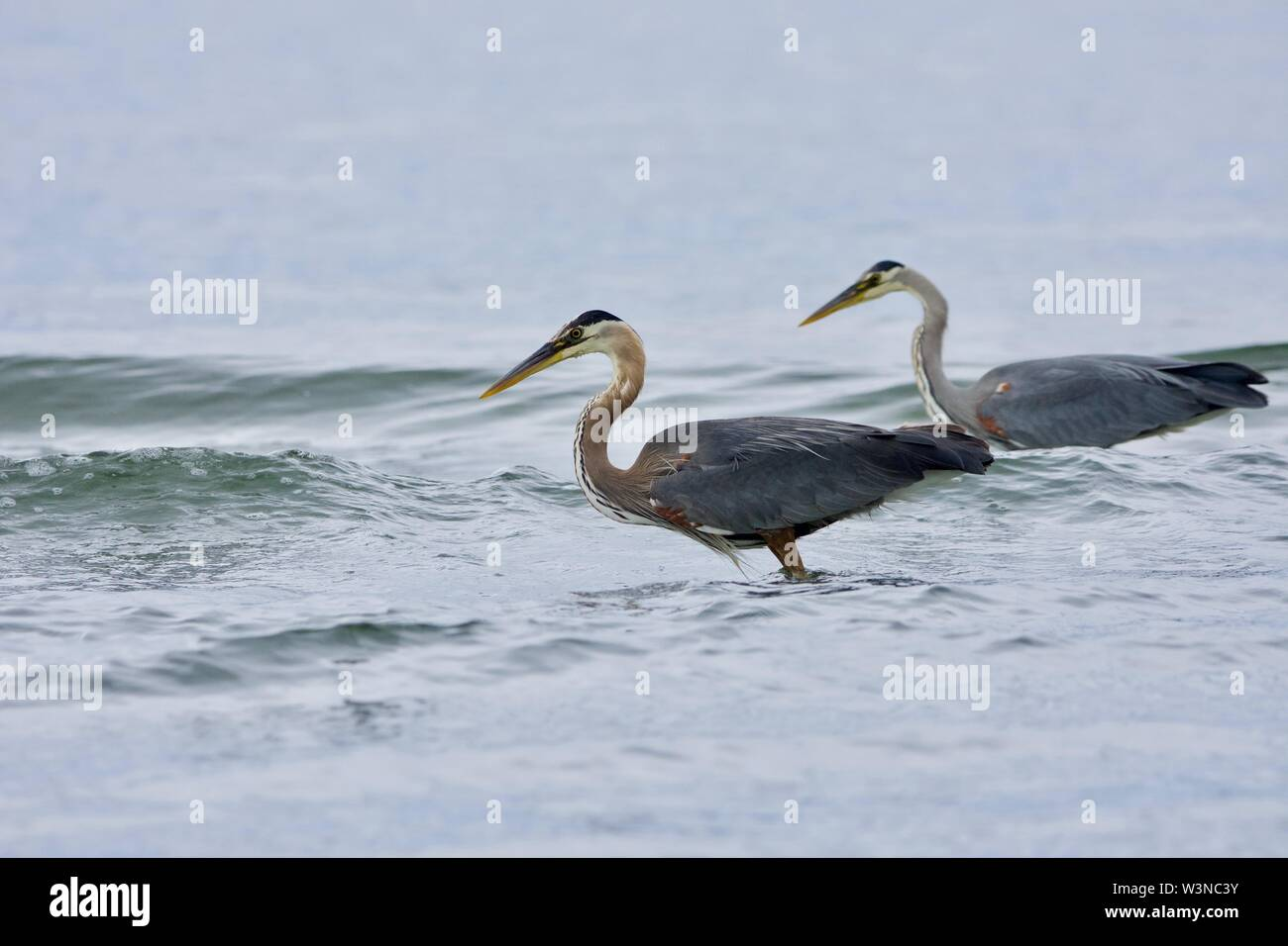 Two great blue herons fish in the waves near shore at Witty's Lagoon, Vancouver Island, British Columbia. - Stock Image