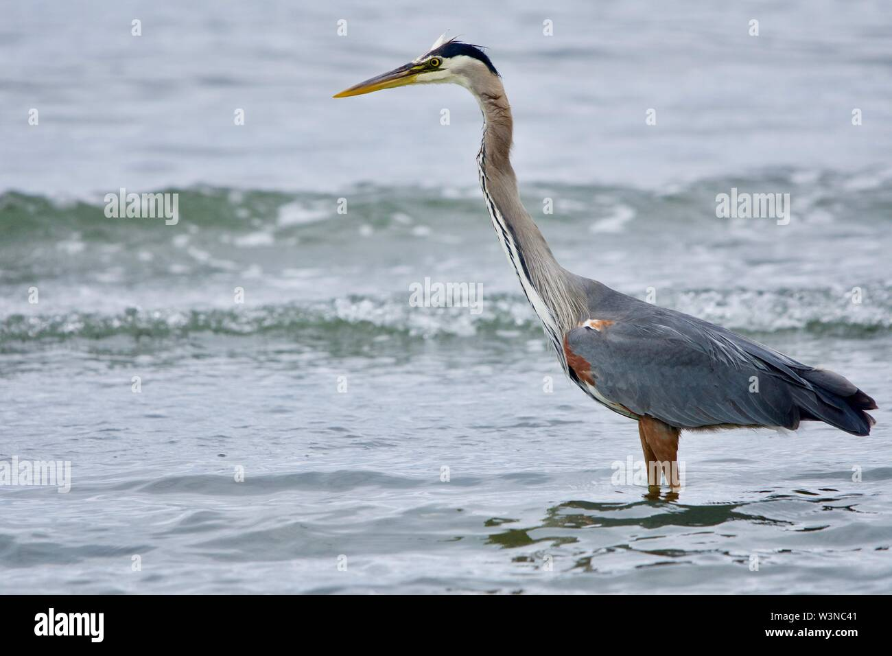 Standing in the shallows, a heron extends its neck as it searches for prey, Witty's Lagoon, Vancouver Island, British Columbia. - Stock Image