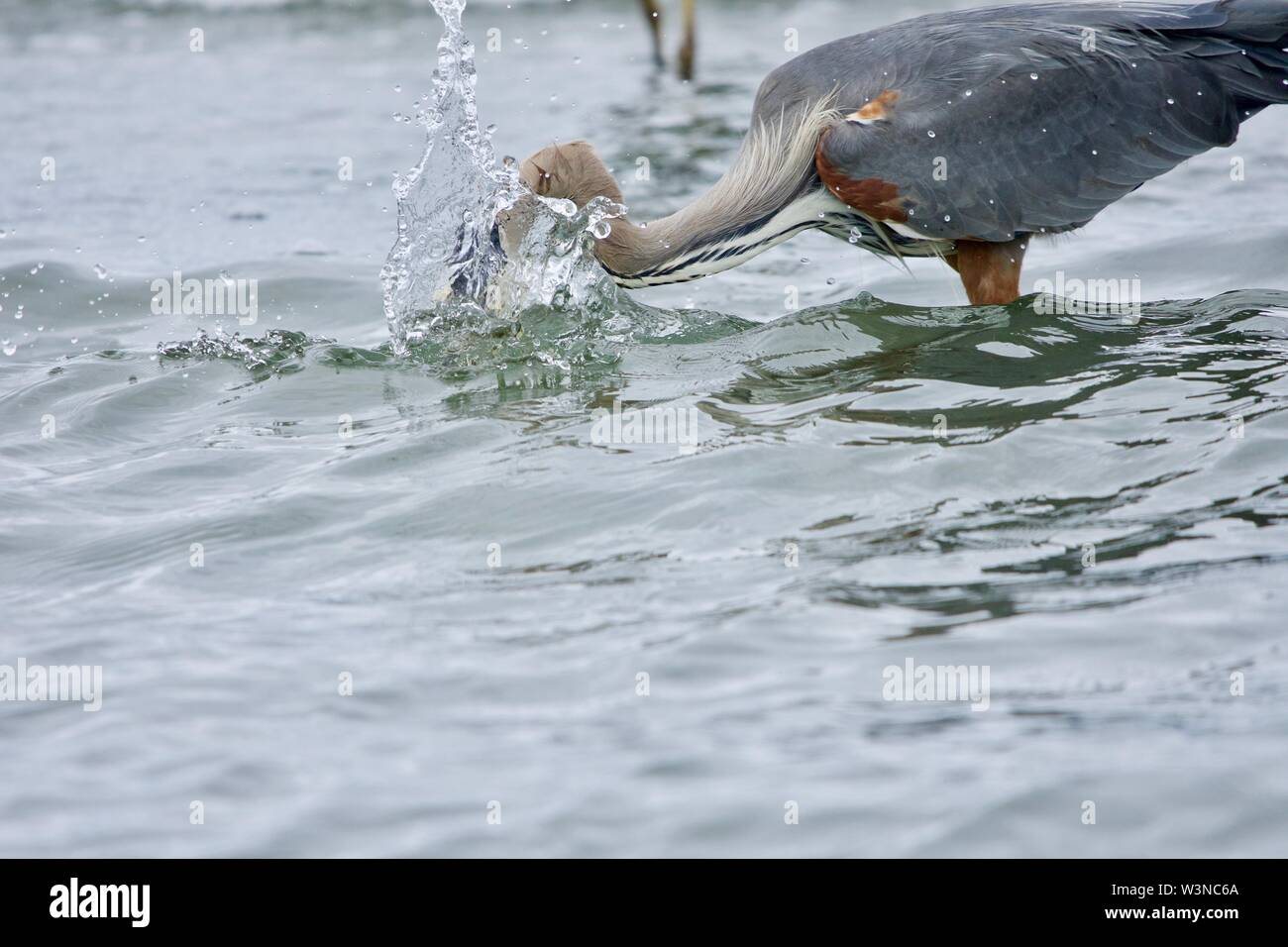 Big splash as great blue heron strikes at a fish in the sea, Witty's Lagoon, Vancouver Island, British Columbia. - Stock Image