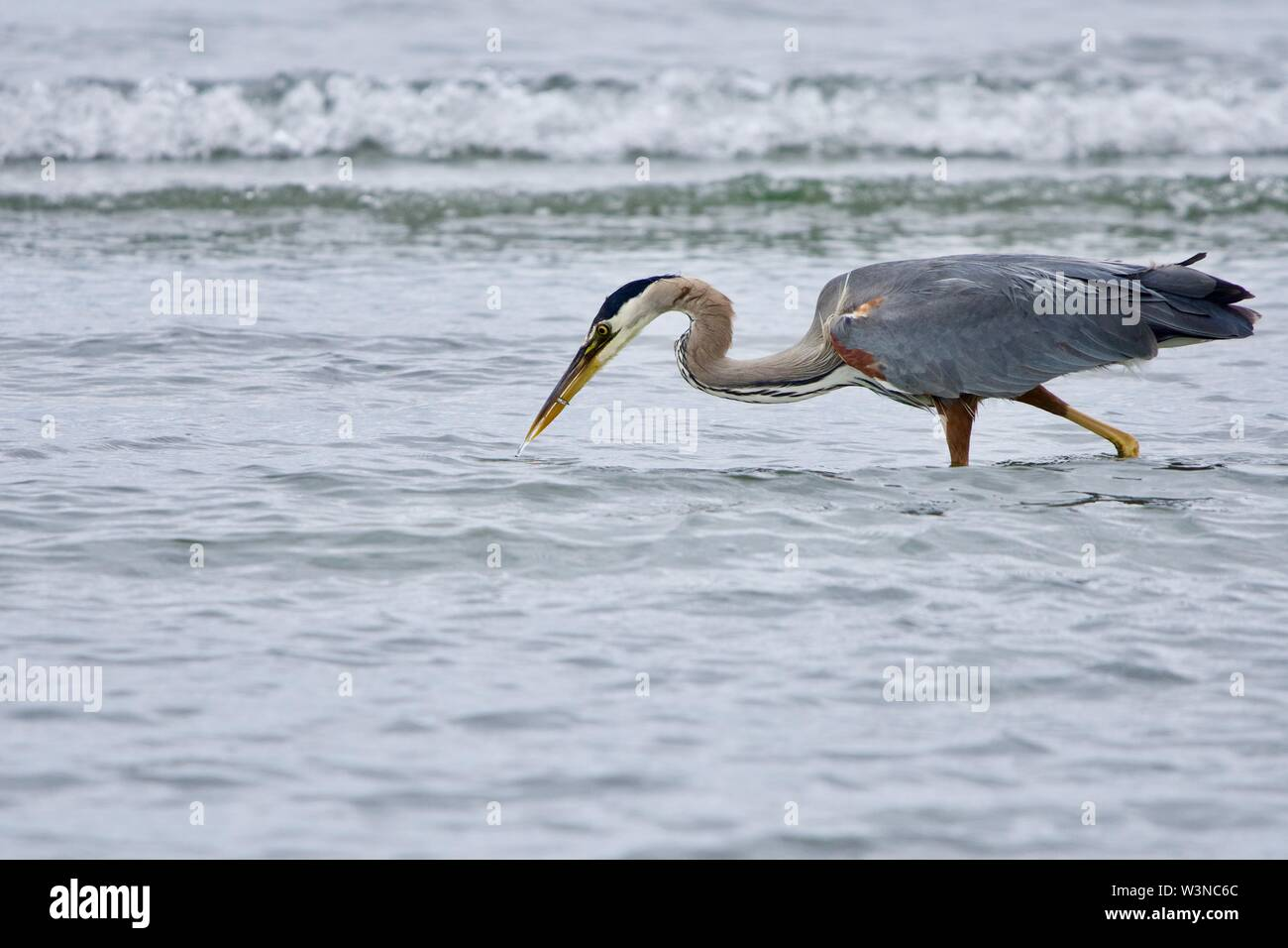 Heron catches a needle fish in the shallows near beach at Witty's Lagoon, Vancouver Island, British Columbia. - Stock Image