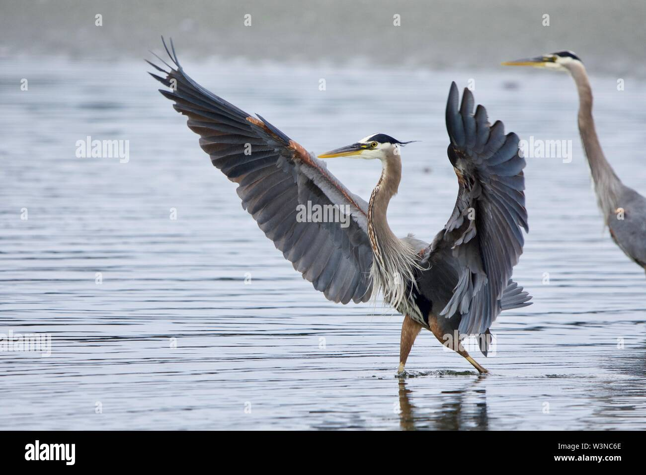 Great blue heron lands in a tide pool with wings extended wide, Witty's Lagoon, Vancouver Island, British Columbia - Stock Image