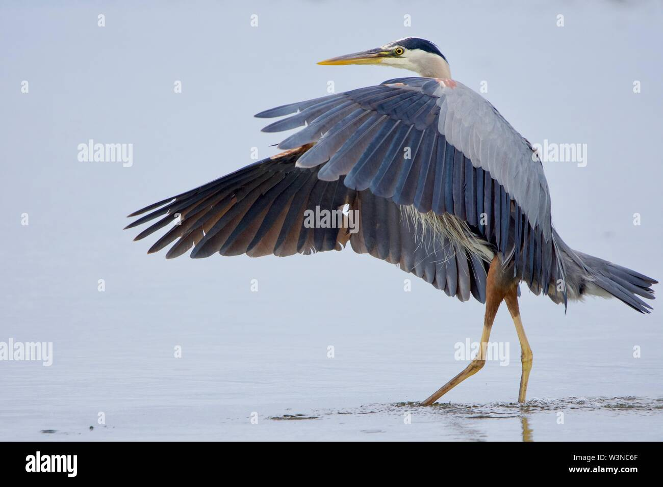 Great blue heron looks like a dancer with its wings extended forward, Witty's Lagoon,  Vancouver Island, British Columbia - Stock Image