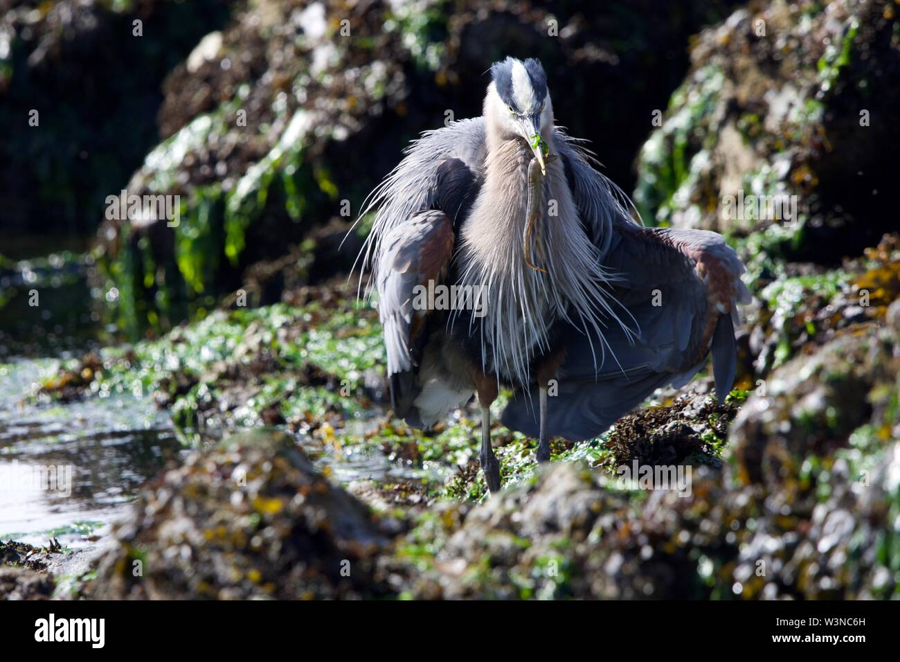 Great blue heron fluffs its feathers and spreads its wings while holding a fish, standing on seaweed covered rocks, Clover Point, Victoria, British Co - Stock Image