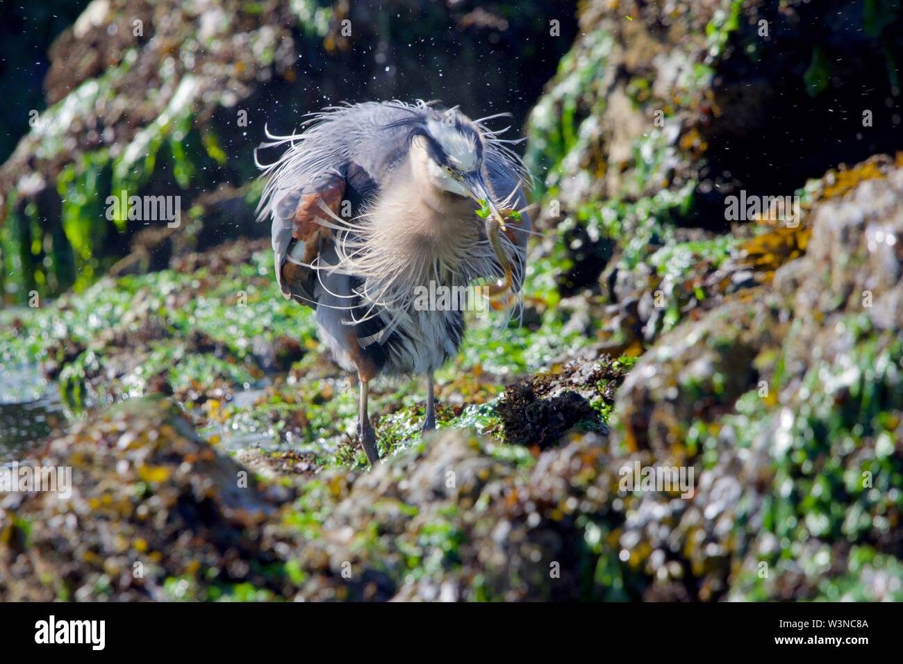 Heron shakes itself after catching a fish, its feathers fluffed out, Clover Point, Victoria, British Columbia. - Stock Image