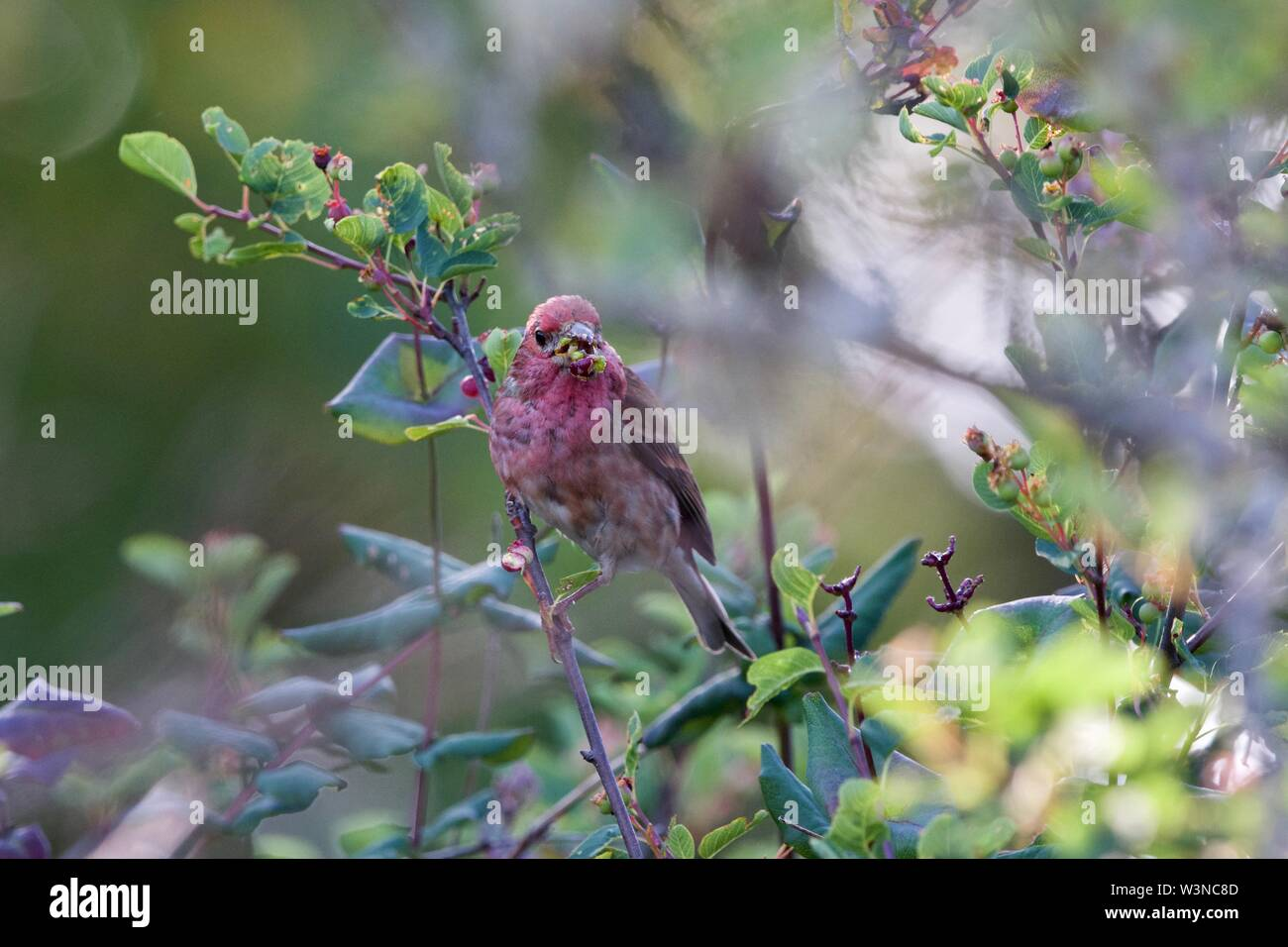 Purple finch feeds on small tree fruits in the wild, southern Vancouver Island, British Columbia - Stock Image