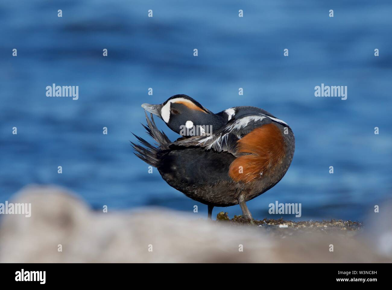 Adult male harlequin duck preens its tail feathers while standing at the shore edge, southern Vancouver Island, British Columbia - Stock Image
