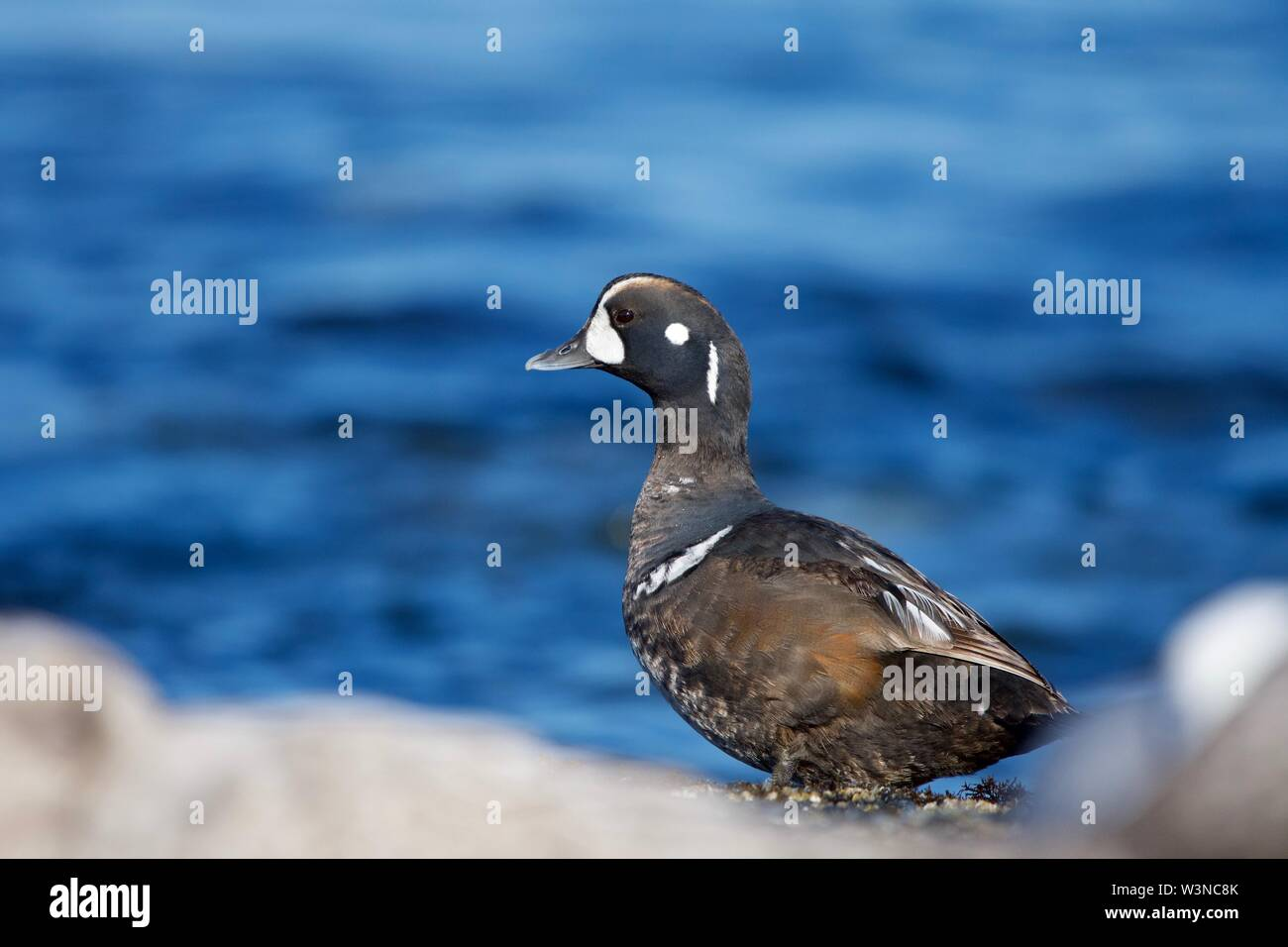 Female harlequin duck cranes her neck as she stands on shore in a group of seagulls, southern Vancouver Island, British Columbia - Stock Image
