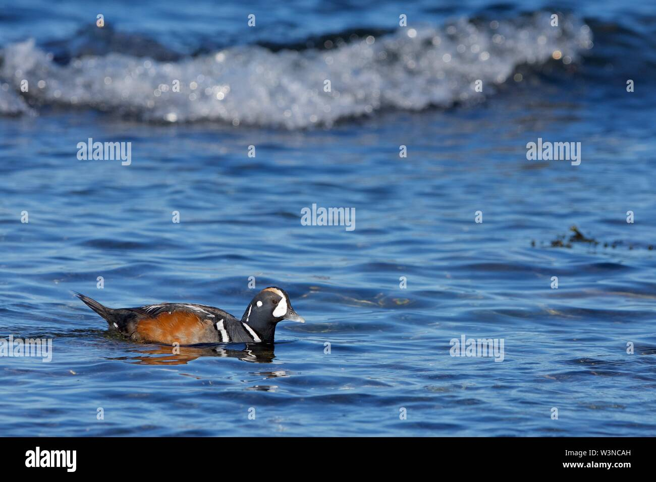 Colourful male harlequin duck swims in shallows near shore, southern Vancouver Island, British Columbia - Stock Image