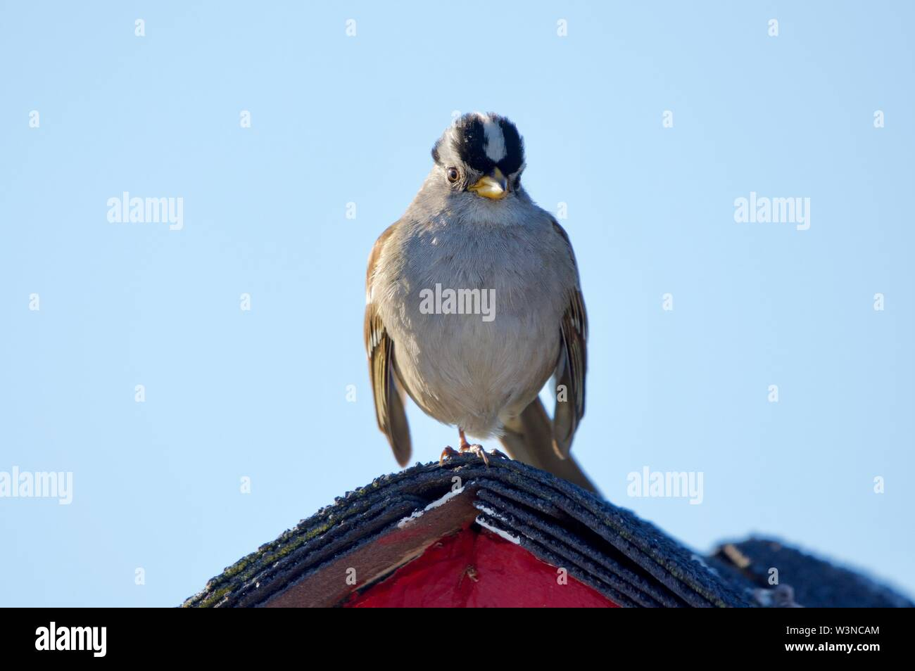 White-crowned sparrow perches on one leg on peak of bright pink shed in evening, Ogden Point, Victoria, British Columbia - Stock Image