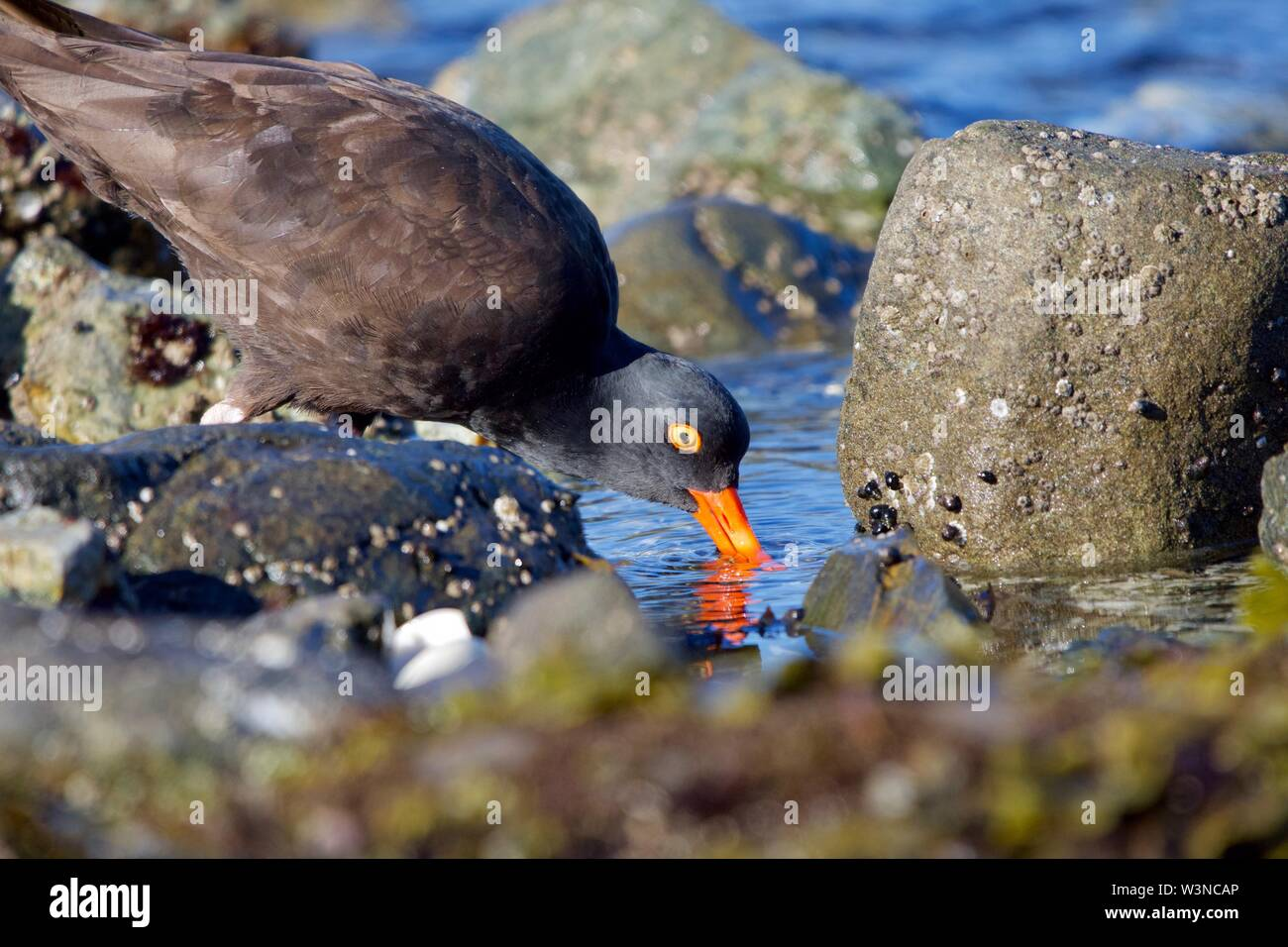 Black oystercatcher probes for shellfish in a tide pool near Clover Point, Vancouver Island, British Columbia - Stock Image