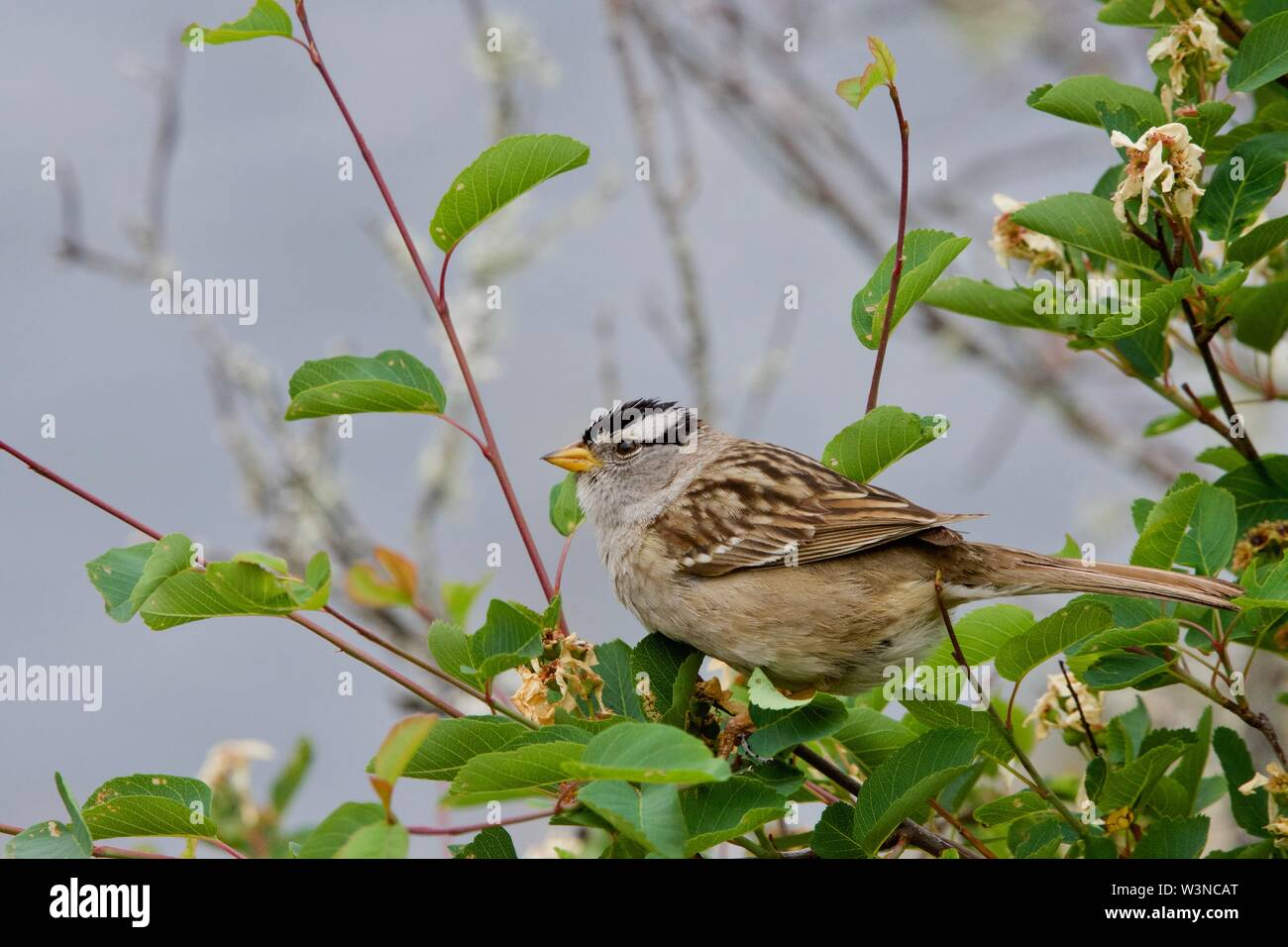 White-crowned sparrow sits on the branch of a bush near the sea, Saanich Inlet, Vancouver Island, British Columbia - Stock Image