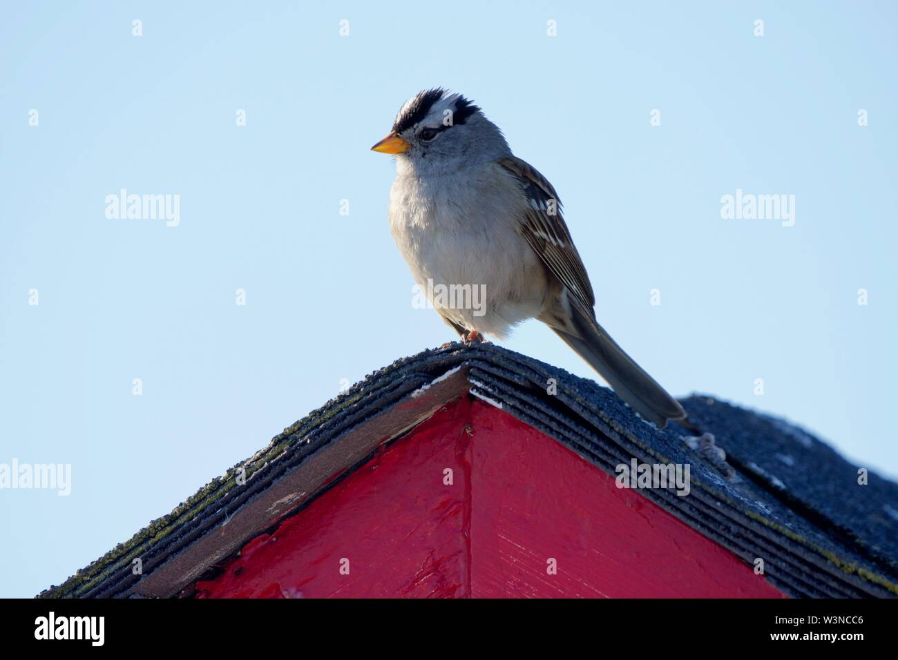 Adult white-crowned sparrow perches on purple peak of shed roof, Victoria, British Columbia, - Stock Image