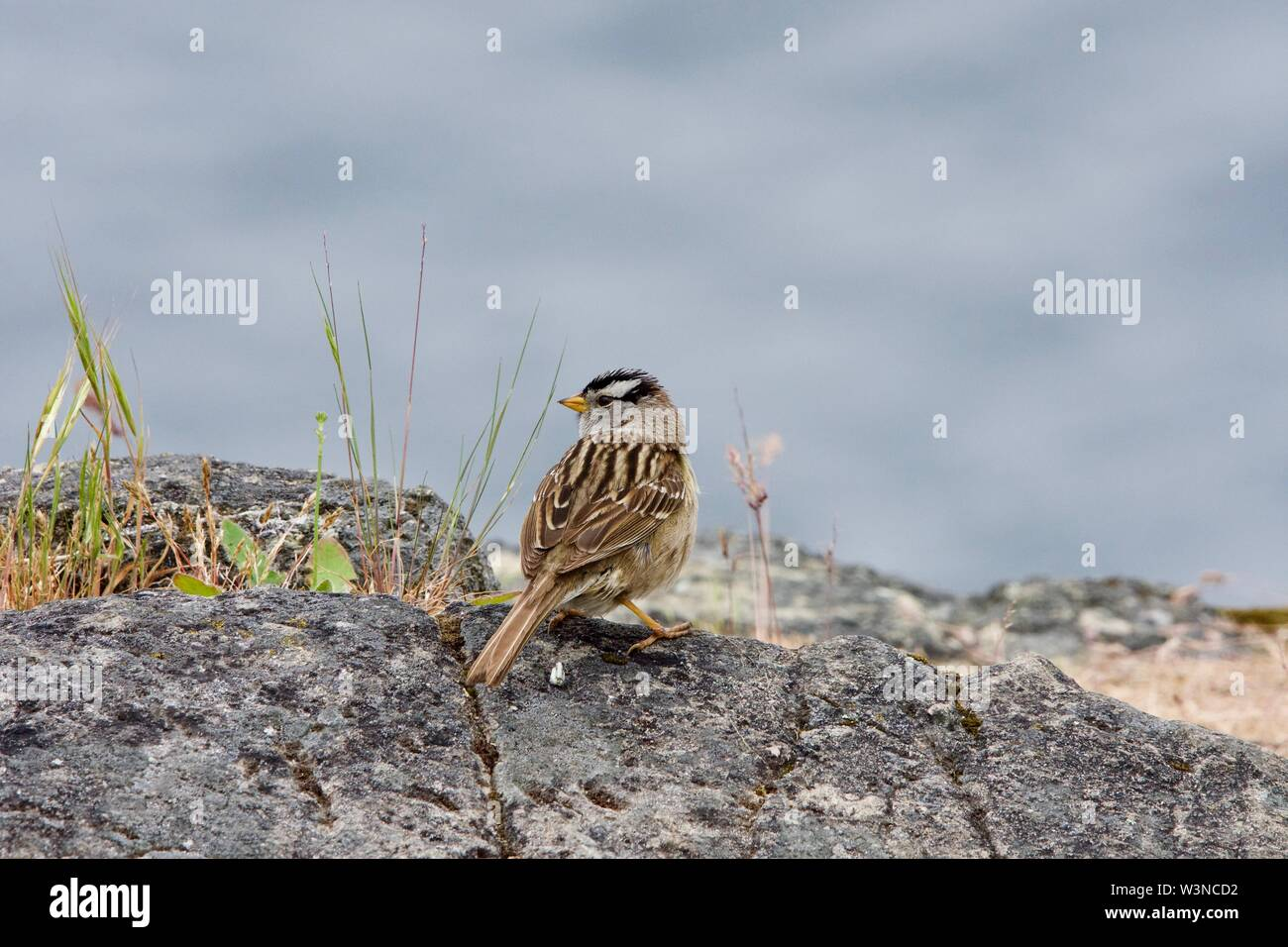 White-crowned sparrow sits on the edge of a cliff overlooking the waters of Saanich Inlet, Vancouver Island, British Columbia - Stock Image