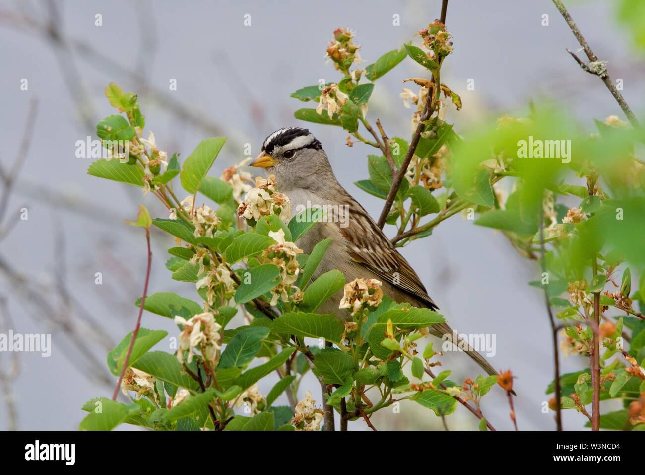White-crowned sparrow perches in a flower-covered bush on the edge of Saanich Inlet, Vancouver Island, British Columbia - Stock Image