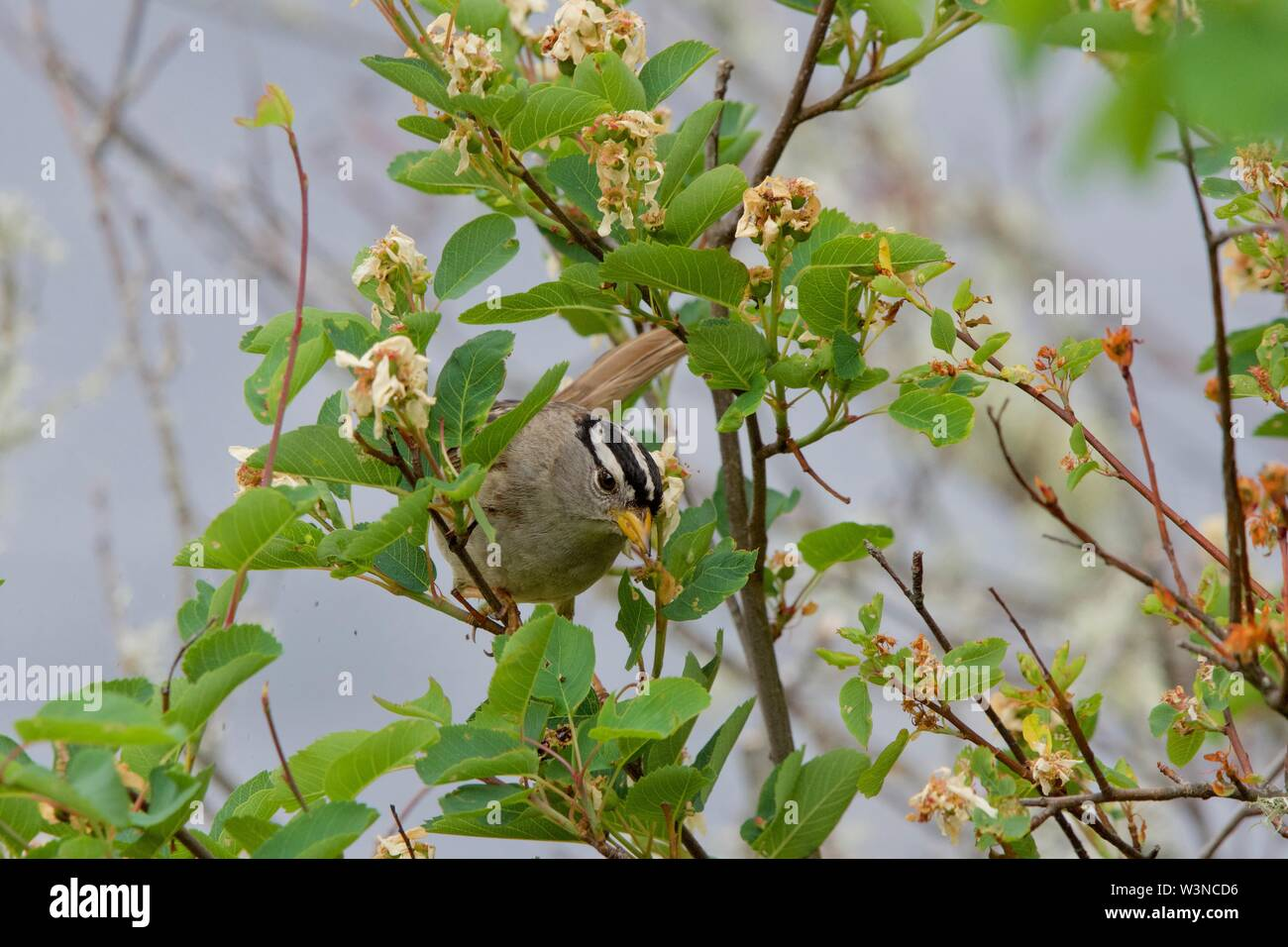 White-crowned sparrow forages for food in a flowering bush along the coast of southern Vancouver Island, British Columbia. - Stock Image