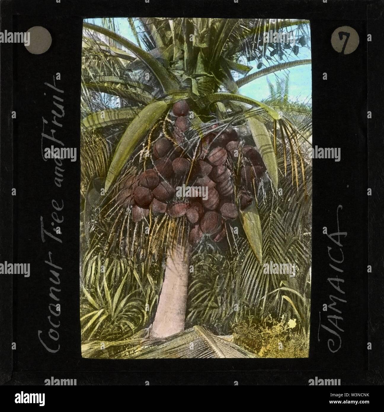 Coconut Tree and Fruit, Jamaica, ca.1875-ca.1940 (imp-cswc-GB-237-CSWC47-LS11-007). - Stock Image