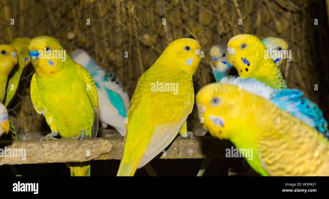 close up of colorful budgrigars in a cage,beautiful parrots in a cage. Stock Photo