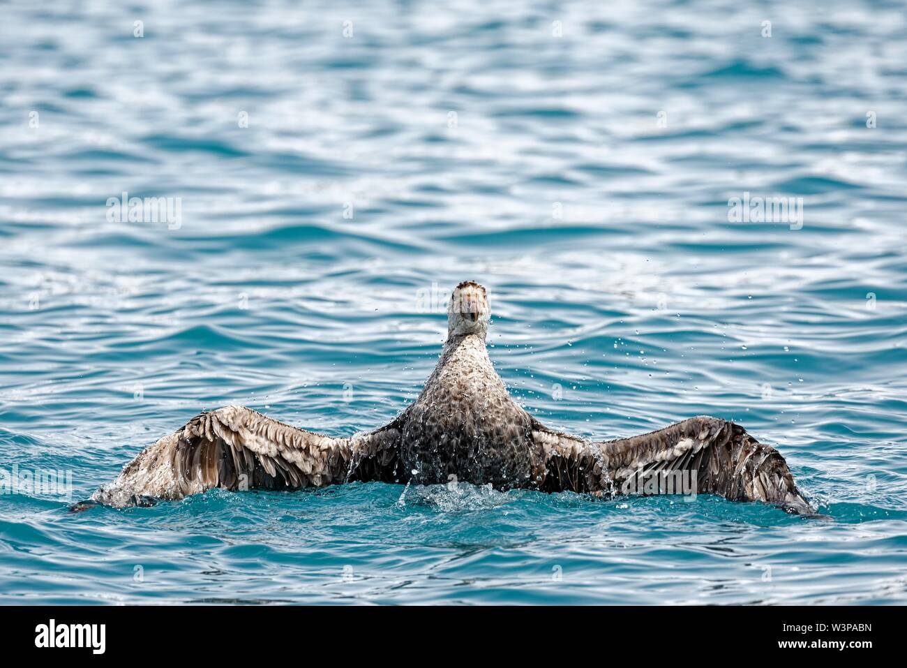 Southern giant petrel (Macronectes giganteus) swims in the South Atlantic off the coast of South Georgia, South Georgia and the South Sandwich Islands - Stock Image