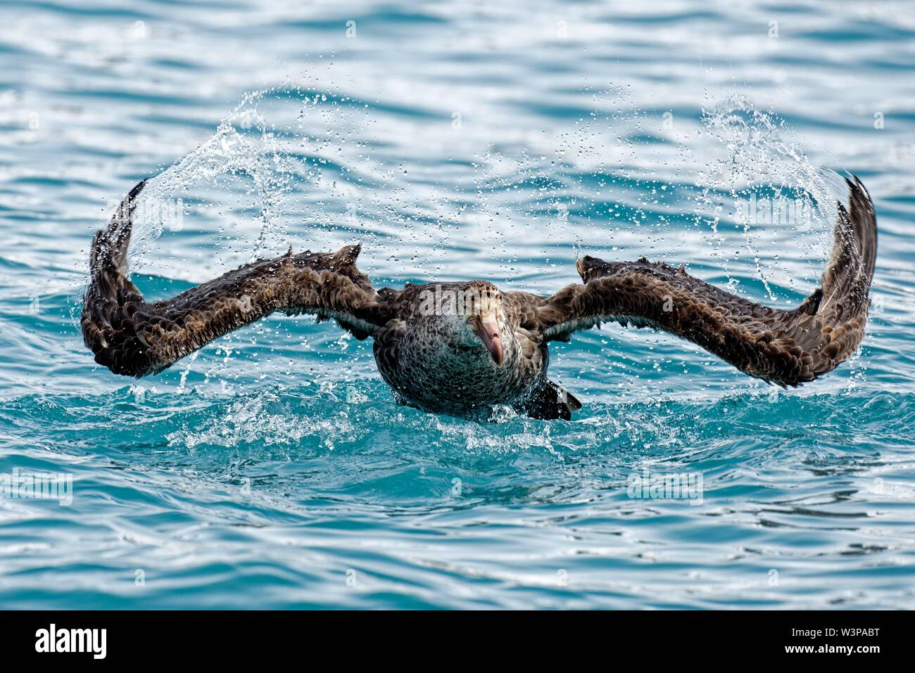 Southern giant petrel (Macronectes giganteus) takes off for a flight from the sea, South Atlantic off the coast of South Georgia, South Georgia and - Stock Image