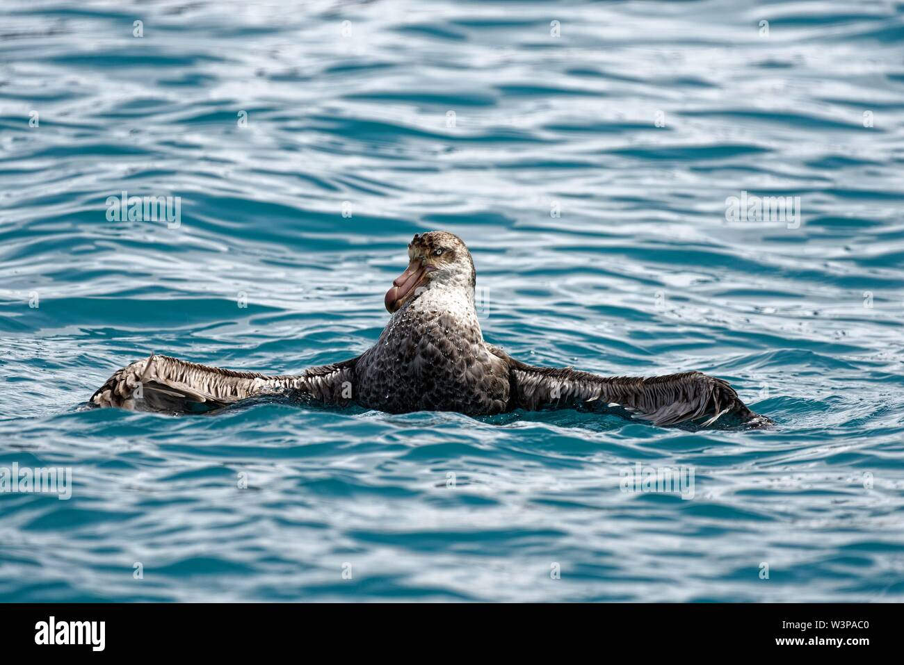Southern giant petrel (Macronectes giganteus) with extended wings in the South Atlantic off the coast of South Georgia, South Georgia and the South - Stock Image