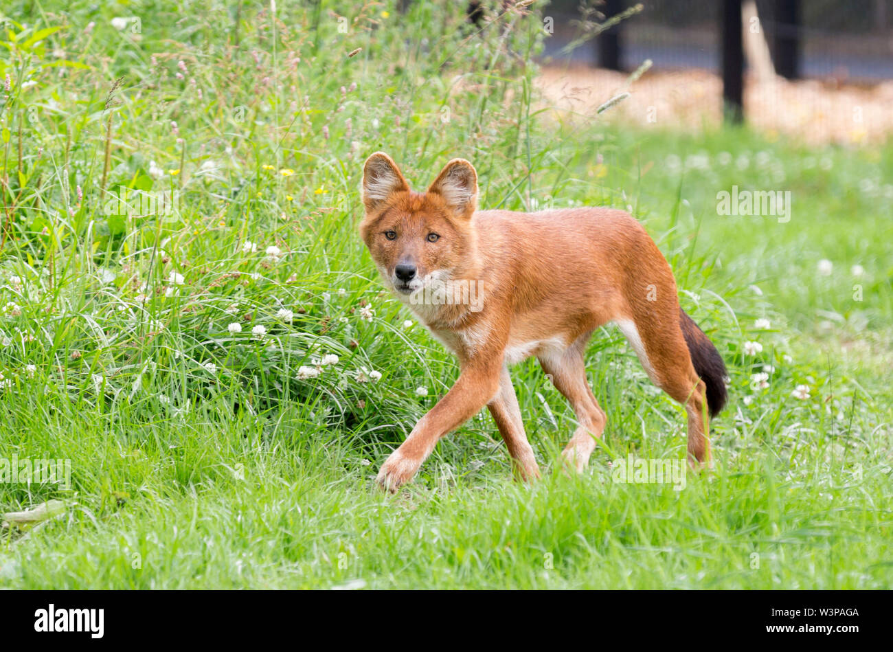 The dhole (Cuon alpinus) is a canid native to Central, South