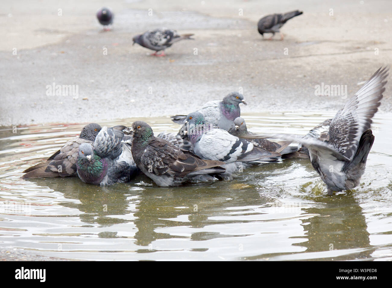 Urban pigeon bathed in puddle after rain. Birds in the city in Eastern Europe - Stock Image