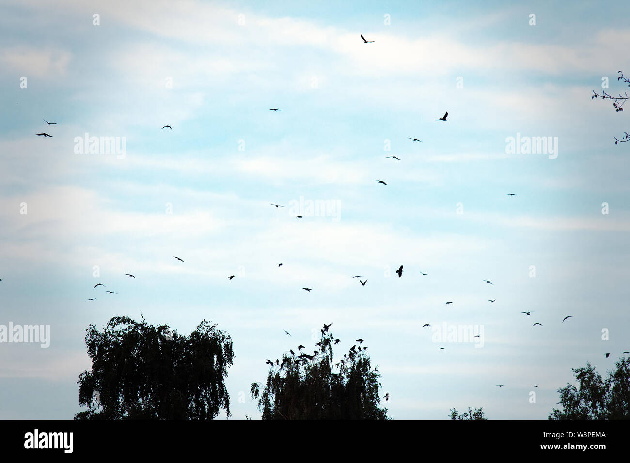 A large flock of hooded crows flies against the sky with flying high-altitude clouds and on the tops of trees - Stock Image