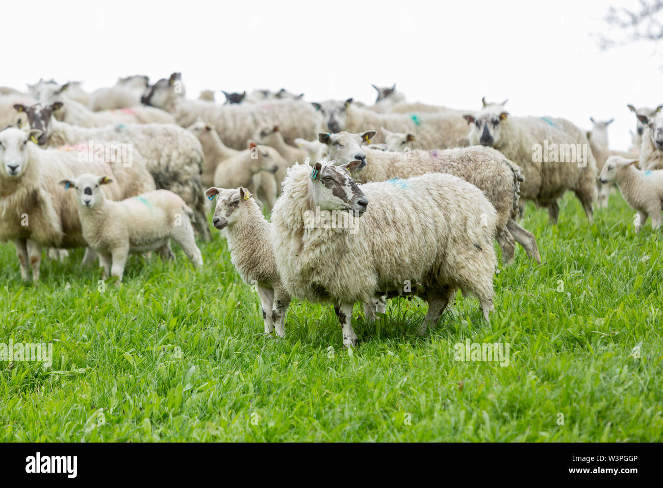 Welsh Mules and their Aberfield lambs on grazing rotation at a South Wales farm.  ©James Davies Photography - Stock Image