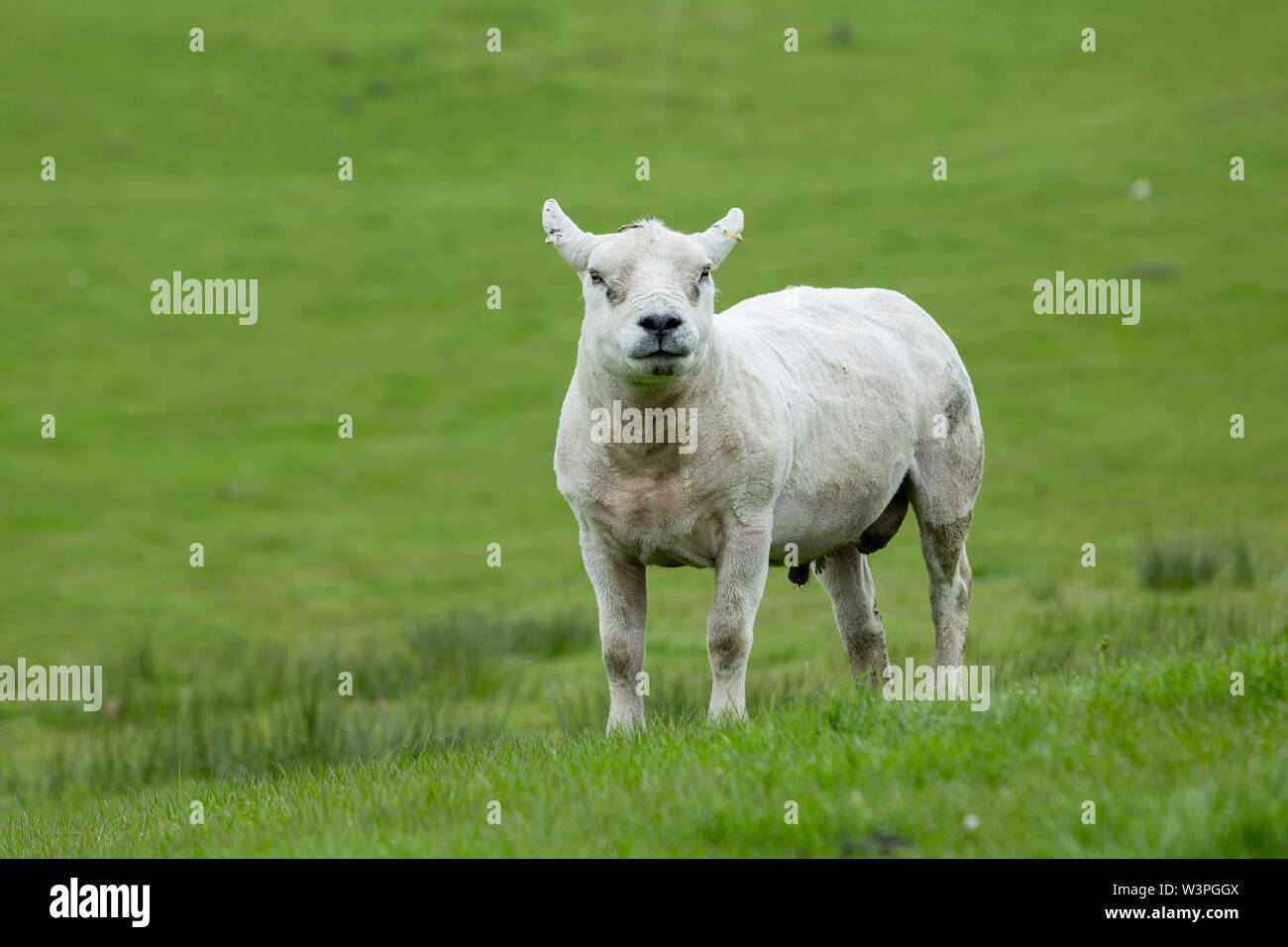 A Texel Tup Ram. - Stock Image