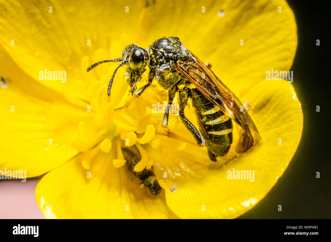 Hymenoptera, wasp insect in a yellow flower - Stock Image