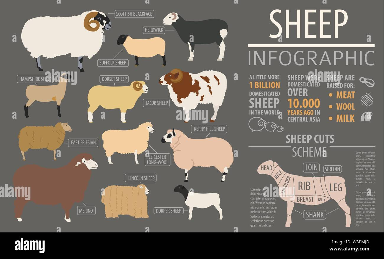 Sheep breed infographic template. Farm animal. Flat design. Vector illustration - Stock Image