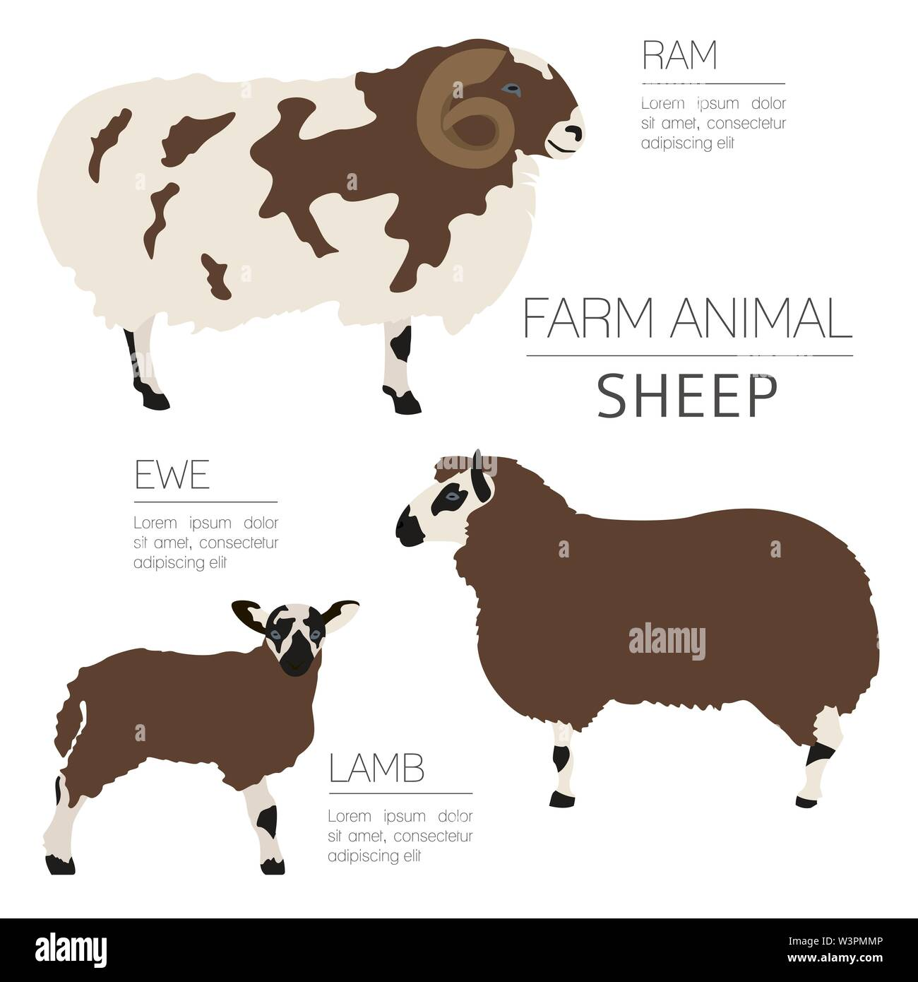 Sheep farming infographic template. Ram, ewe, lamb family. Flat design. Vector illustration - Stock Image