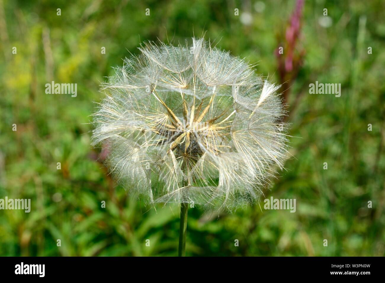 Goats beard seed head Jack go to bed at noon Tragopogon pratensis daisy dandelion family Stock Photo
