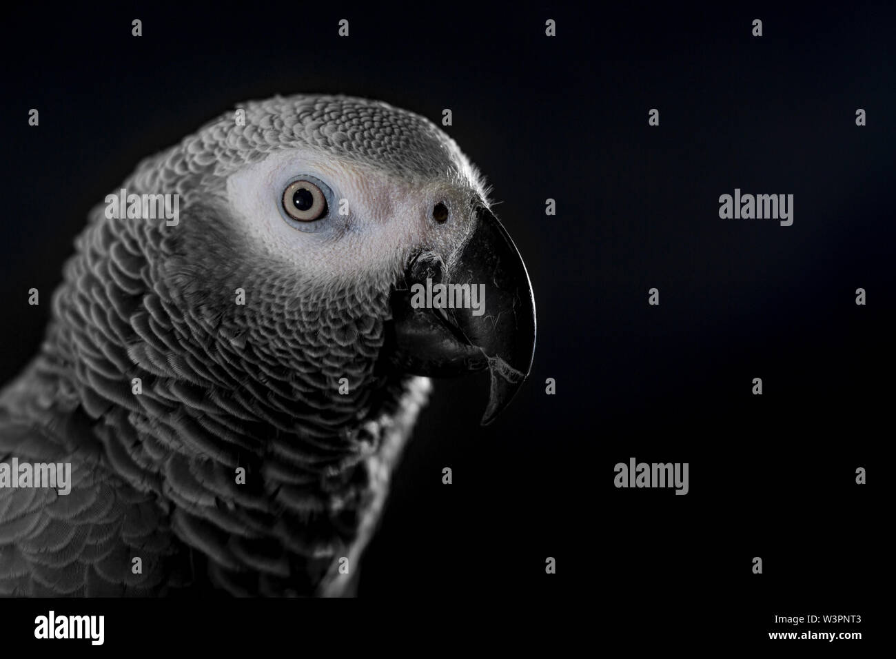 Close up African grey parrot (Psittacus erithacus) head portrait during concentrating on speak by clever repeating talk. Face of intelligent-like bird - Stock Image