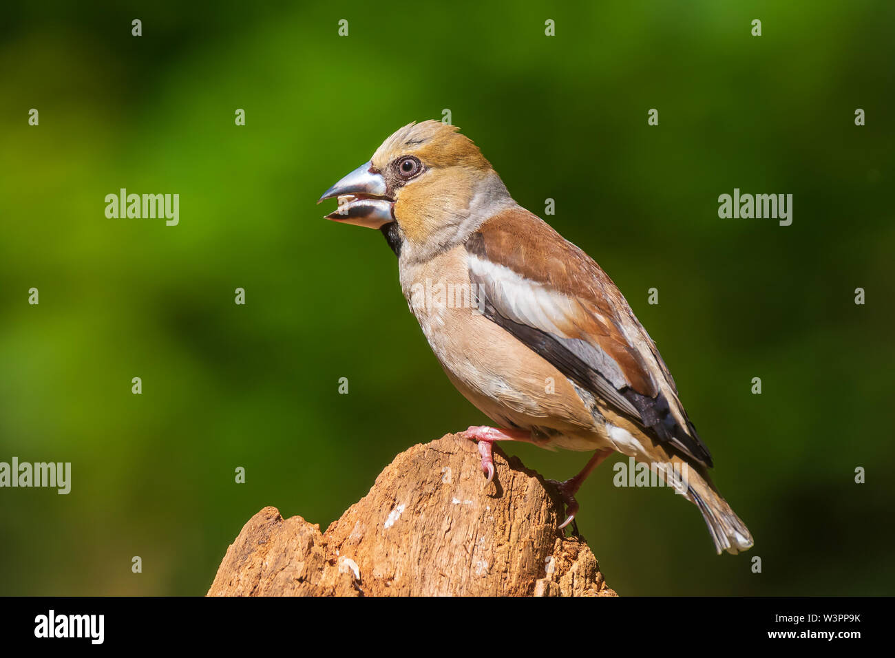 Closeup of a female hawfinch Coccothraustes coccothraustes bird perched in a forest. Selective focus and natural sunlight - Stock Image