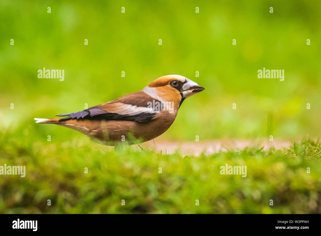 Closeup of a male hawfinch Coccothraustes coccothraustes bird perched in a green grass field. Selective focus and natural sunlight - Stock Image